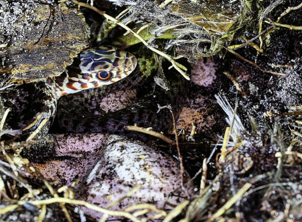 Photograph - Black Racer Eggs by JC Findley