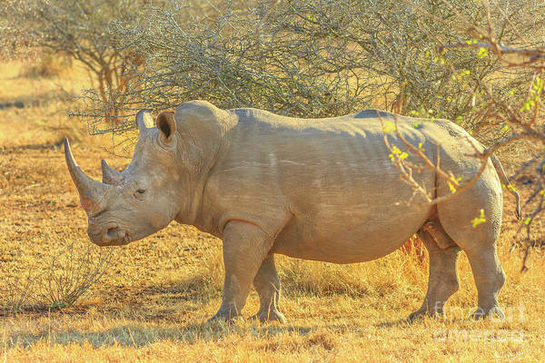 Photograph - Black Rhino Side View by Benny Marty