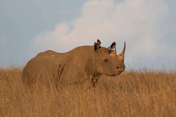 Photograph - Black Rhino by Thomas Kallmeyer