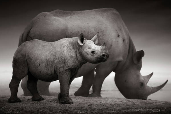 Alert Wall Art - Photograph - Black Rhinoceros Baby And Cow by Johan Swanepoel