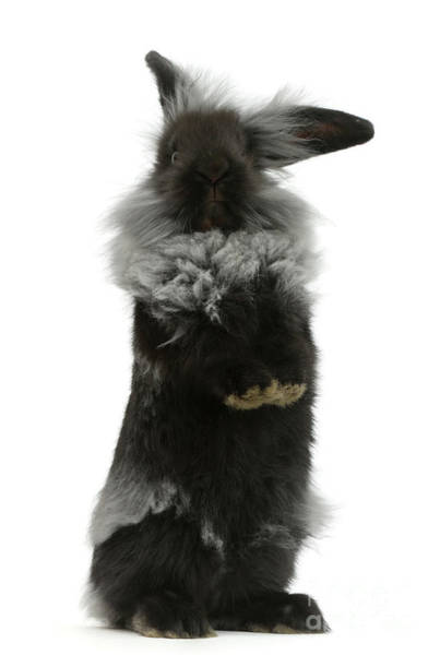 Photograph - Black Rough Rabbit by Warren Photographic