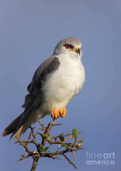 Black Kite Photograph - Black-shouldered Kite - Elanus Caeruleus by Johan Swanepoel
