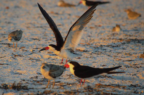 Photograph - Black Skimmer Colony by Susan Molnar