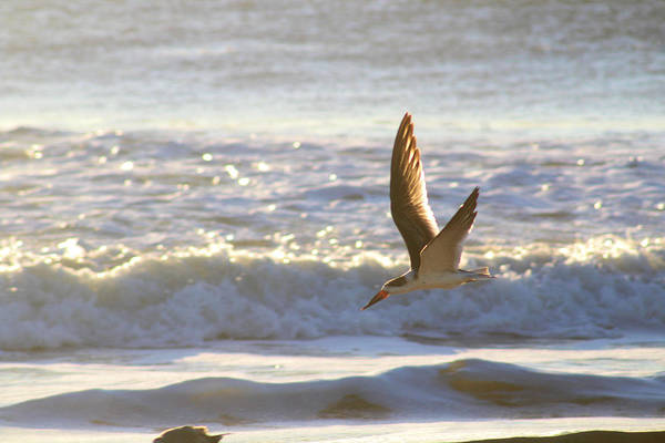 Photograph - Black Skimmer In Flight by Robert Banach