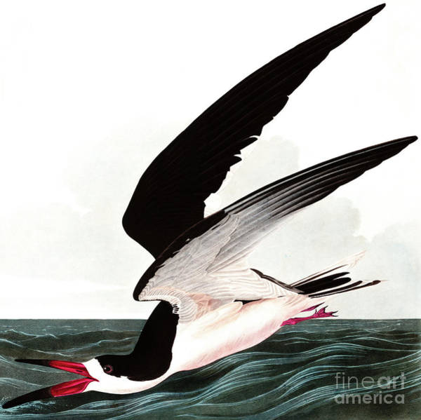 Painting - Black Skimmer Or Shearwater, Rhincops Nigra By Audubon by John James Audubon