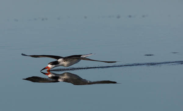 Skimmers Photograph - Black Skimmer, Skimming For A Meal by Ken Archer