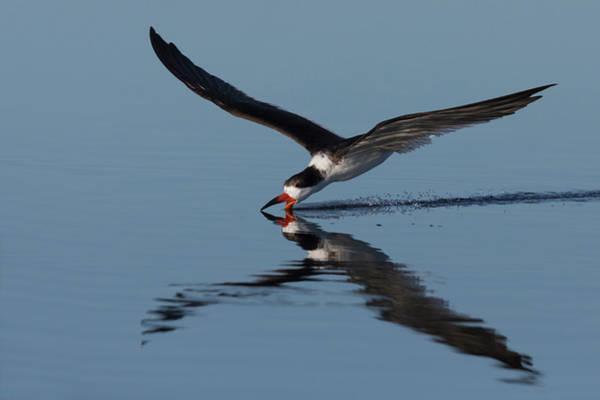 Skimmers Photograph - Black Skimmer Skimming For Food by Ken Archer