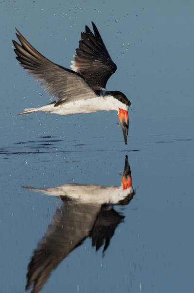 Skimmers Photograph - Black Skimmer With Freshly Caught Meal by Ken Archer