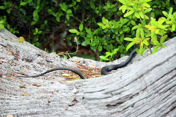 Photograph - Black Snake In Tree by Cynthia Guinn
