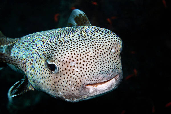 Balloonfish Photograph - Black-spotted Porcupinefish by Lea Lee