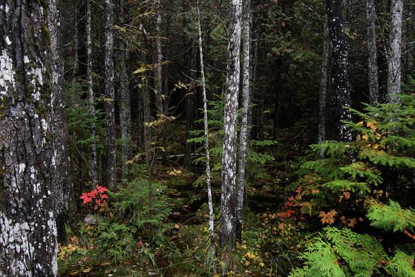 Photograph - Black Spruce Forest 10121801 by Rick Veldman