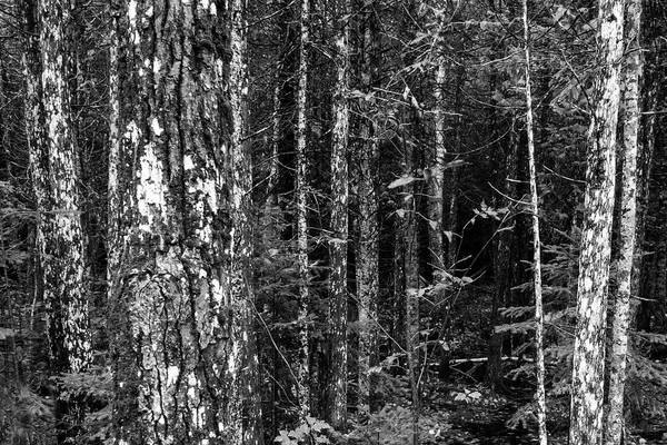 Photograph - Black Spruce Forest Black And White by Rick Veldman