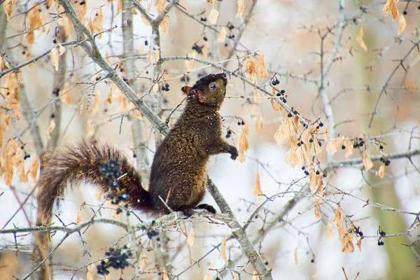 Photograph - Black Squirrel Eating Berries In Winter by Peggy Collins