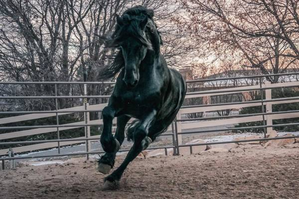 Photograph - Black Stallion Cantering by Carol Whitaker