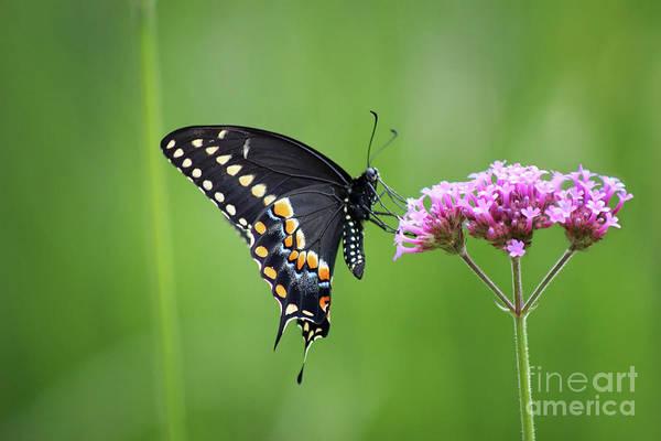 Photograph - Black Swallowtail Balance by Karen Adams