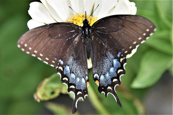 Photograph - Black Swallowtail Beauty by Kim Bemis