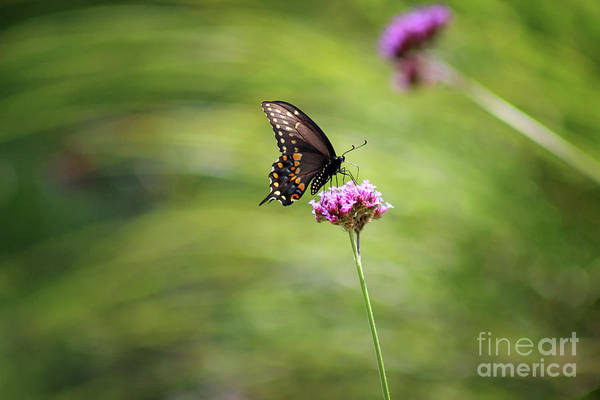 Photograph - Black Swallowtail Landed by Karen Adams