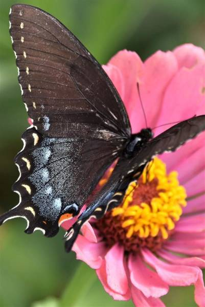 Photograph - Black Swallowtail On Pink Flower by Kim Bemis