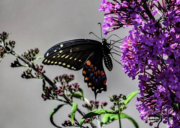 Wall Art - Photograph - Black Swallowtails Alluring Beauty by Cindy Treger