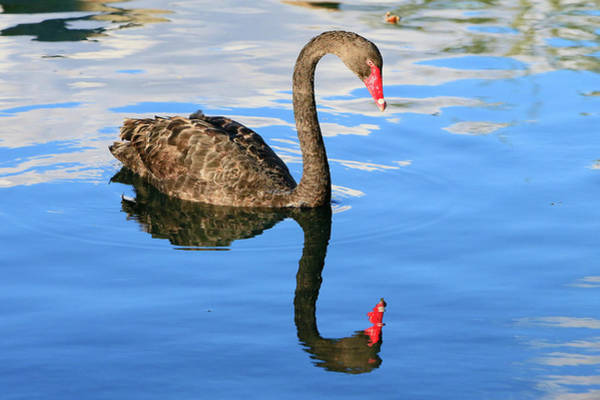 Wall Art - Photograph - Black Swan Reflections by Shoal Hollingsworth