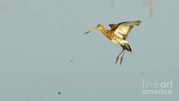Photograph - Black-tailed Godwit Limosa Limosa Flying by Pablo Avanzini