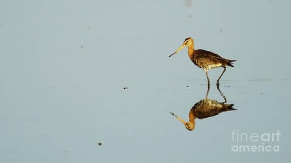Photograph - Black-tailed Godwit Limosa Limosa Reflection by Pablo Avanzini