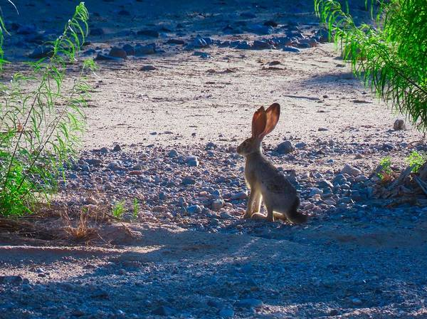 Photograph - Black-tailed Jackrabbit In A Desert Wash by Judy Kennedy