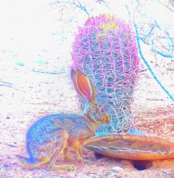 Photograph - Black-tailed Jackrabbit by Judy Kennedy