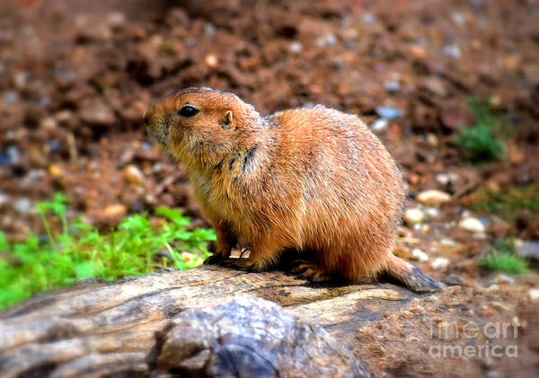 Photograph - Black Tailed Prairie Dog by Patti Whitten