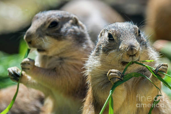 Photograph - Black-tailed Prairie Dogs by Arterra Picture Library