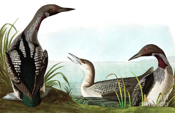 Painting - Black Throated Diver, Colymbus Arcticus By Audubon by John James Audubon