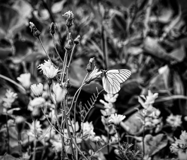 Wall Art - Photograph - Black Veined White Butterfly On Flower by Panoramic Images