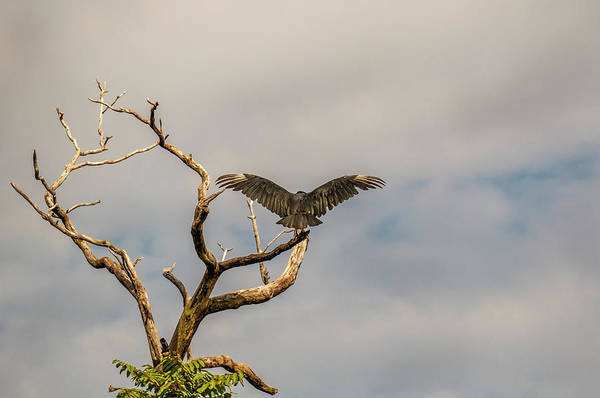 Photograph - Black Vulture Stateline by Jorge Perez - BlueBeardImagery