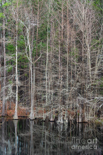Photograph - Black Water Cypress Tree's by Dale Powell