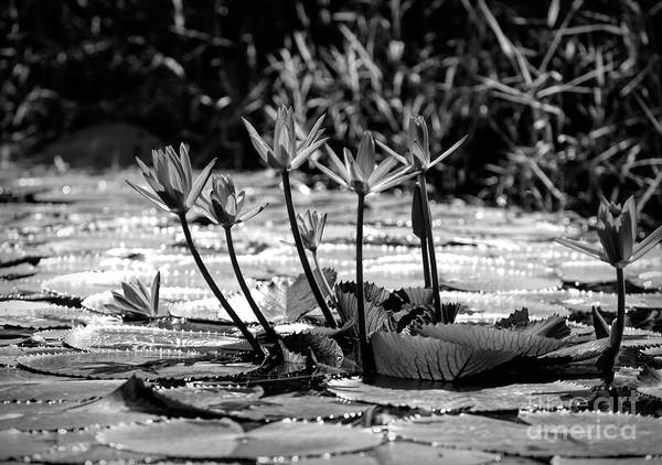 Wall Art - Photograph - Black White Lily Pods Vietnam  by Chuck Kuhn