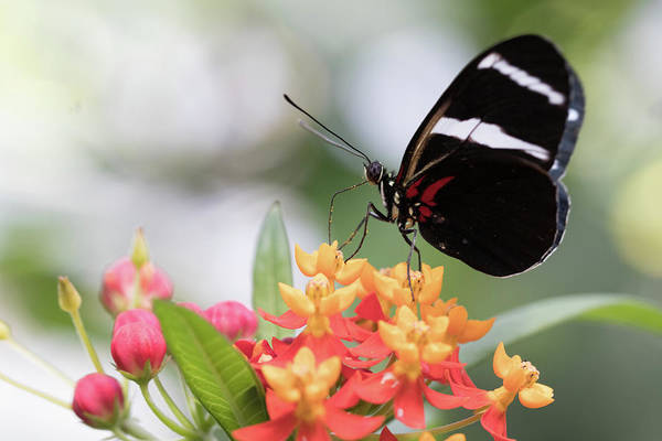 Wall Art - Photograph - Black/white/red Butterfly by Shari Pederson