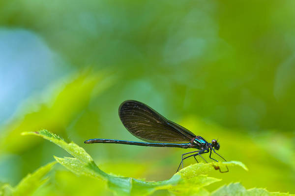 Wall Art - Photograph - Black-winged Damselfly by Michael Lustbader