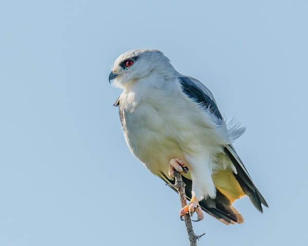 Wall Art - Photograph - Black Winged Kite Perched by Morris Finkelstein