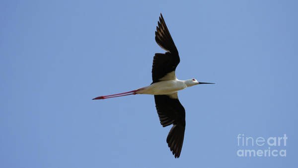 Photograph - Black-winged Stilt Himantopus Himantopus Flying by Pablo Avanzini