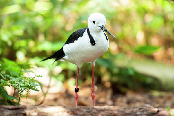 Photograph - Black-winged Stilt by Rob D Imagery