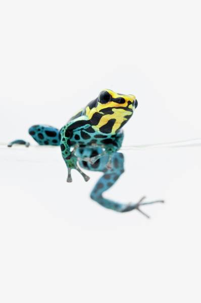 Poison Dart Frog Photograph - Black, Yellow And Blue Poison Dart Frog by Design Pics / Corey Hochachka