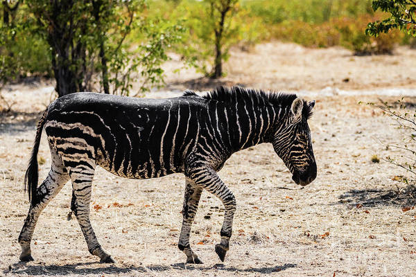 Photograph - Black Zebra, Namibia by Lyl Dil Creations