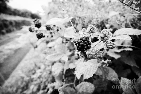 Wall Art - Photograph - Blackberries Growing In A Hedgerow On A Country Lane In Ireland by Joe Fox
