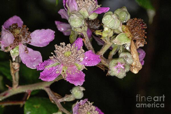 Photograph - Blackberry Flower Wet by Brian Roscorla