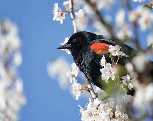 Photograph - Blackbird In Spring by Randy Hall