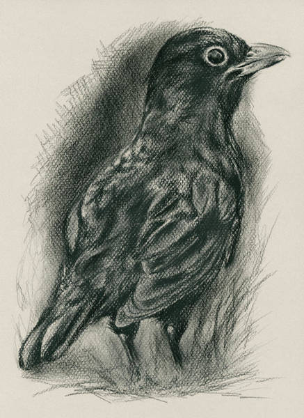 Drawing - Blackbird In The Grass by MM Anderson