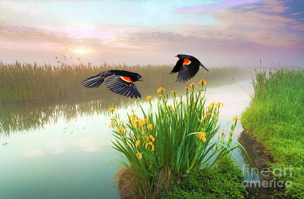 Red-winged Blackbird Wall Art - Photograph - Blackbirds Dance With Iris by Laura D Young