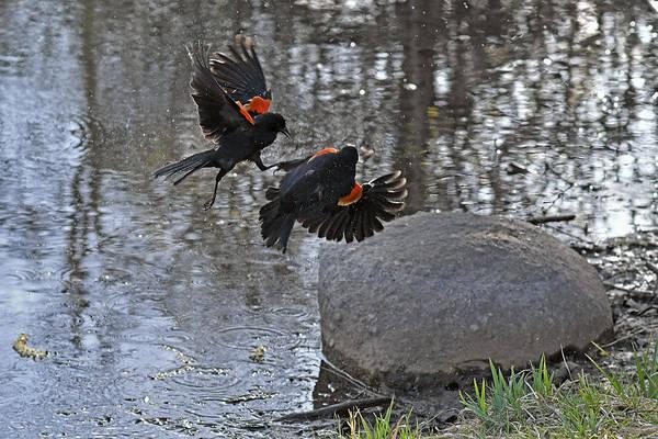 Kickboxing Photograph - Blackbirds Kickboxing by Asbed Iskedjian
