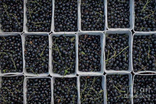Blue Berry Photograph - Blackcurrants by Tim Gainey