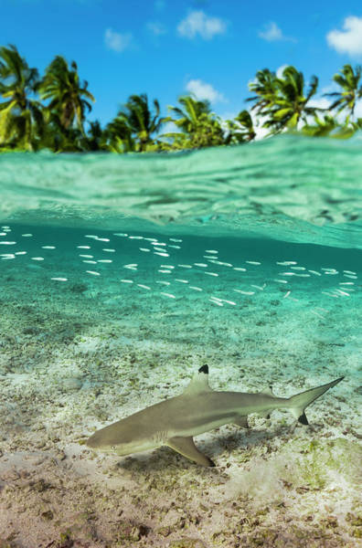 Threat Photograph - Blacktip Reef Shark In Atoll Lagoon by Pete Atkinson